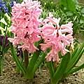 Hyacinthus orientalis 'Anne Marie', Janos Agoston