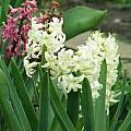 Hyacinthus orientalis 'Carnegie', Janos Agoston