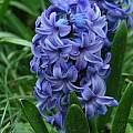 Hyacinthus orientalis 'Delft Blue', Janos Agoston