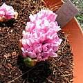 Hyacinthus orientalis'Fondante', Janos Agoston