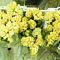 Hyacinthus orientalis 'Yellow Queen', Janos Agoston
