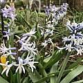 Hyacinthus orientalis ssp. chionophilus Rimmer de Vries