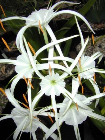 Pacific bulb society hymenocallis hymenocallis littoralis photo taken by bill dijk mightylinksfo Image collections