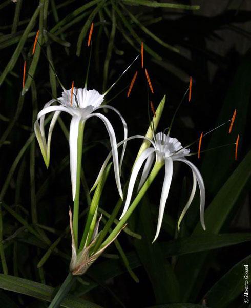 Pacific bulb society hymenocallis hymenocallis littoralis photo taken by alberto grossi mightylinksfo Gallery
