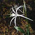 Hymenocallis azteciana, Alessandro Marinello