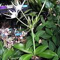 Hymenocallis eucharidifolia, Lee Poulsen