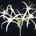 Hymenocallis fragrans, Angelo Porcelli