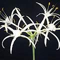 Hymenocallis fragrans, Angelo Porcelli