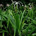 Hymenocallis harrisiana blooming plant, taken July 2006 by Jay Yourch