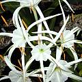 Hymenocallis littoralis, photo taken by Bill Dijk