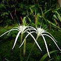 Hymenocallis maximillianii umbel, Jay Yourch