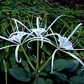 Hymenocallis occidentalis umbel, Jay Yourch