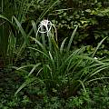 Hymenocallis riparia, Jay Yourch