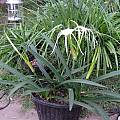Hymenocallis sonorensis blooming plant in 2004, Lee Poulsen