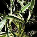 variegated Hymenocallis in Australia, Brad M