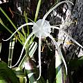 variegated Hymenocallis in Australia, Brad M