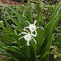 Unidentified Hymenocallis, Nicky Ross