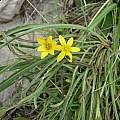 Hypoxis angustifolia, Balloch, Bob Rutemoeller
