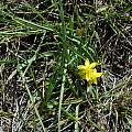 Hypoxis angustifolia, Balloch, Mary Sue Ittner