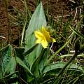 Hypoxis costata, Mary Sue Ittner