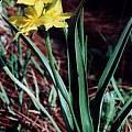 Hypoxis longifolia, Cameron McMaster