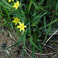 Hypoxis sp., Porongurup National Park, Mary Sue Ittner