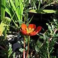 Hypseocharis pimpinellifolia, Nhu Nguyen