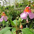 Impatiens flanaganae, by Jim Murrain