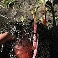 Impatiens flanaganae tuber & shoot, Nhu Nguyen