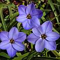 Ipheion 'Rolf Fiedler', Jay Yourch