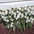 Ipheion uniflorum 'Alberto Castillo', John Lonsdale