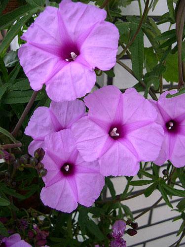 - Ipomoea_fistulosa_flower_juu