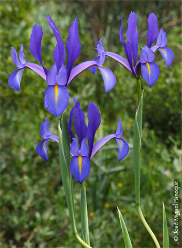 iris varieties, Beautiful flower