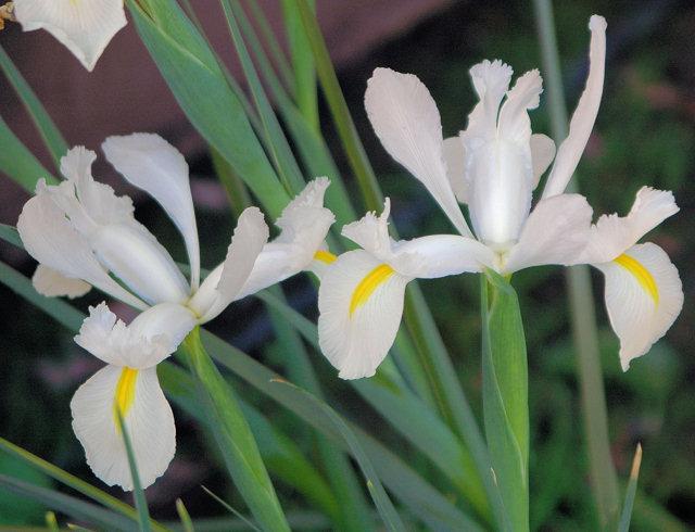 Iris White Hybrid Mary Sue Ittner