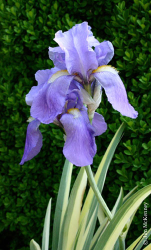 iris pallida sweet iris. Black Bedroom Furniture Sets. Home Design Ideas