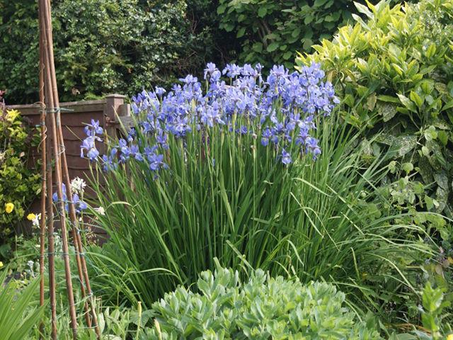 irisartige wundersch ne blume iris barbata schwertlilie pflanzenbestimmung pflanzensuche. Black Bedroom Furniture Sets. Home Design Ideas
