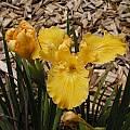 Iris 'Big Smile', Bob Rutemoeller