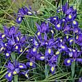 Iris latifolia, Marc Ryckaert