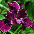 Pacific Coast Iris hybrid, Mary Sue Ittner