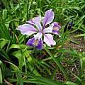 Iris seedling from Iris 'Valley Banner', Kathleen Sayce's garden, photo by Mary Sue Ittner