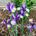 Iris 'Sapphire Beauty', Mark McDonough [Shift+click to enlarge, Click to go to wiki entry]
