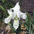 Iris × albicans, John Lonsdale [Shift+click to enlarge, Click to go to wiki entry]