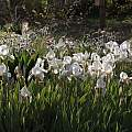 Iris × albicans, John Lonsdale