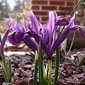 Iris reticulata var. bakeriana, John Lonsdale