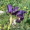 Iris bicapitata, Angelo Porcelli