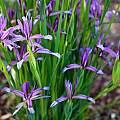Iris sintenisii ssp. brandzae, John Lonsdale