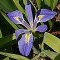Iris brevicaulis, Jim McKenney [Shift+click to enlarge, Click to go to wiki entry]