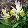 Iris bucharica 'Princess', Paige Woodward [Shift+click to enlarge, Click to go to wiki entry]