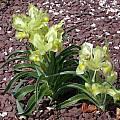 Iris caucasica, John Lonsdale