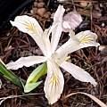 Iris chrysophylla, Paige Woodward